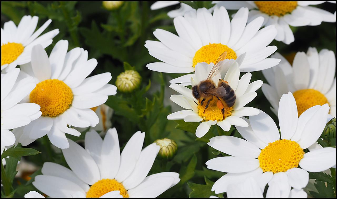 Olympus PEN E-P7 Bee